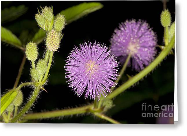 Mimosa Pudica  Greeting Card by Anthony Totah