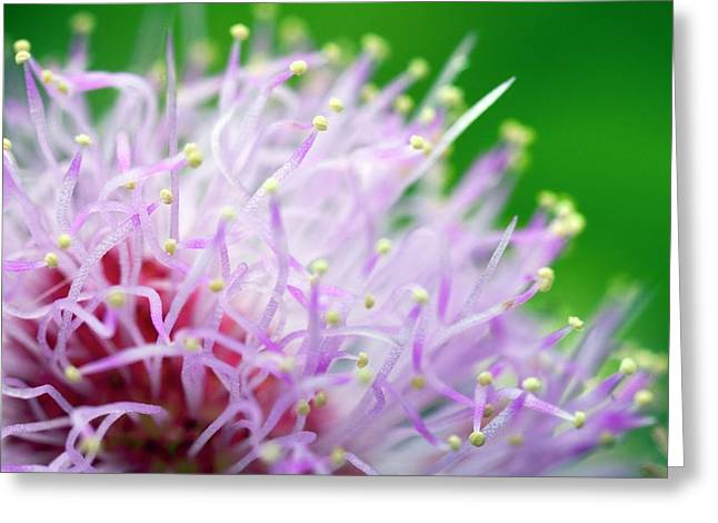 Mimosa Pudica Flower Greeting Card