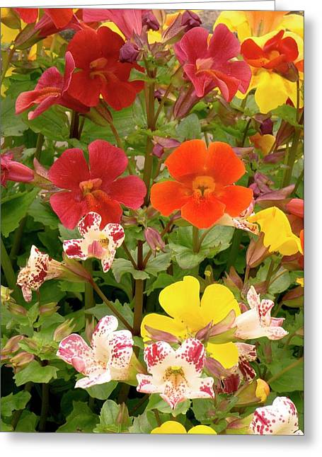 Mimulus Sp. Flowers Greeting Card by Adrian Thomas