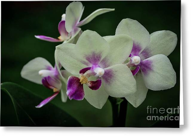 Minature Orchids Greeting Card by Carol A Commins