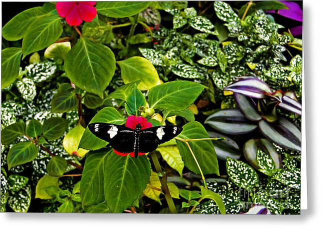 Mindo Butterfly At Rest Greeting Card by Al Bourassa