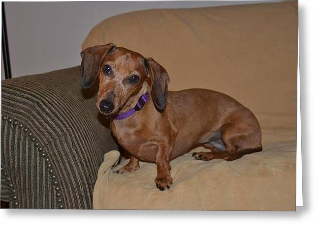 Miniature Dachshund  Greeting Card