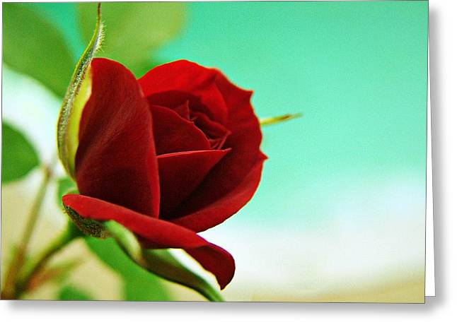 Miniature Rose Greeting Card