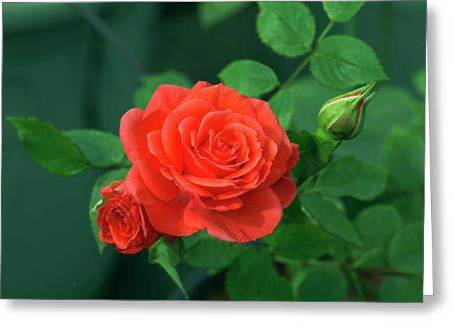 Miniature Rose (rosa 'patiohit') Greeting Card by Brian Gadsby/science Photo Library