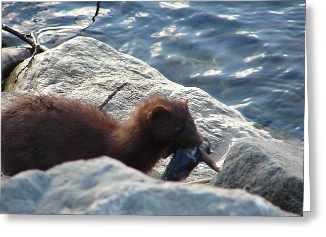 Mink With A Round Goby Greeting Card
