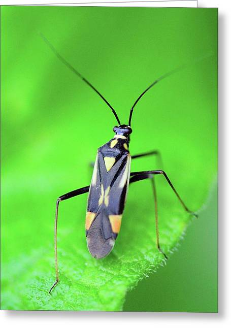 Mirid Bug On Nettle Leaf Greeting Card by Colin Varndell
