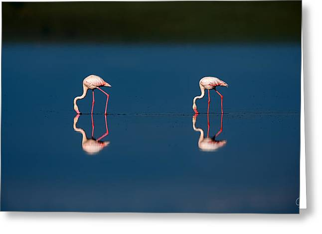 Mirrored Flamingos Greeting Card by Jeppsson Photography