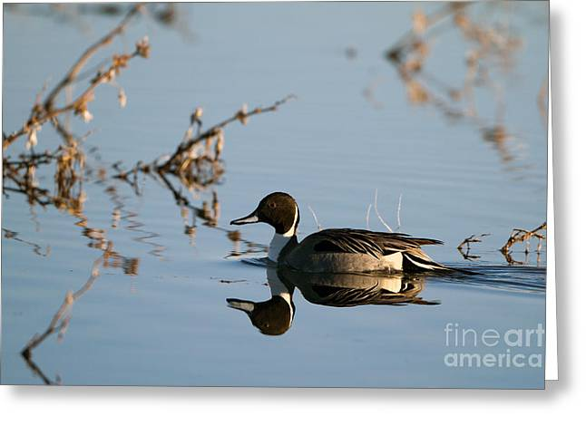 Northern Pintail Mirror Image Greeting Card