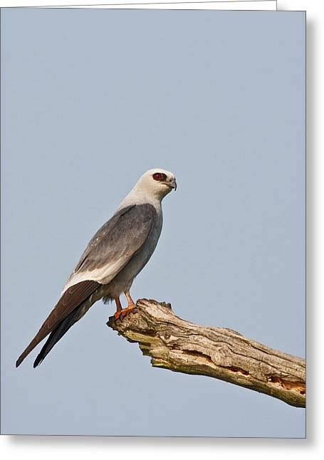 Mississippi Kite (ictinia Greeting Card by Larry Ditto