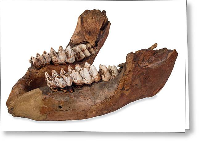 Missourium Theristrocaulodon Greeting Card by Natural History Museum, London