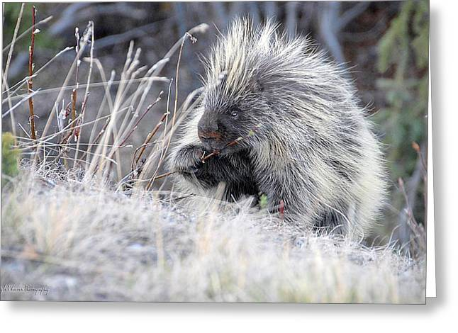 Greeting Card featuring the photograph Mister Porcupine - Denali Alaska by Dyle   Warren