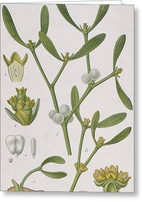 Mistletoe Greeting Card by Elizabeth Blackwell
