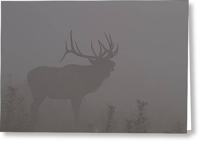 Misty Morning Bull Elk Greeting Card by Doug McPherson
