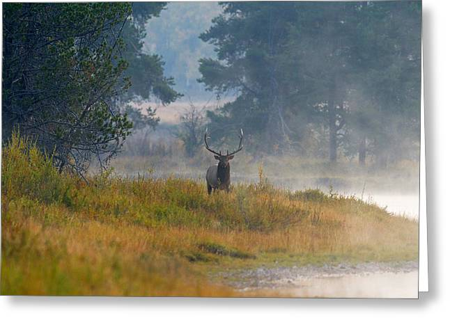 Misty Morning Elk Greeting Card