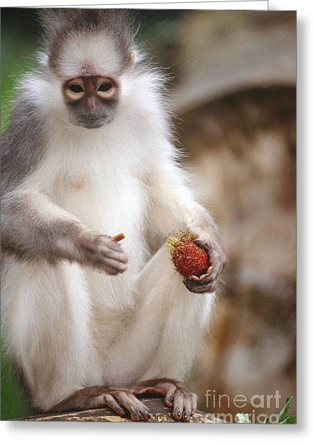 Mitered Leaf Monkey Greeting Card by Art Wolfe