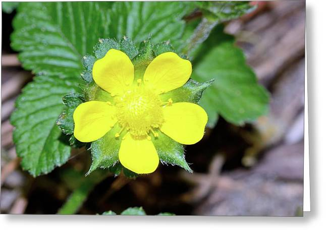 Mock Strawberry (duchesnea Indica) Flower Greeting Card by Bruno Petriglia