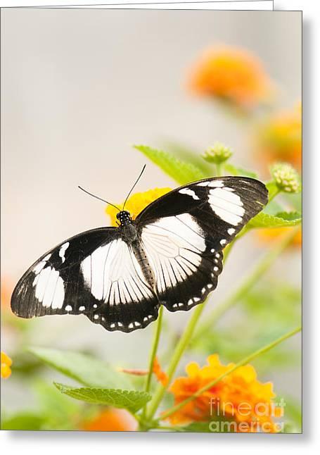 Mocker Swallowtail Greeting Card by Anne Gilbert