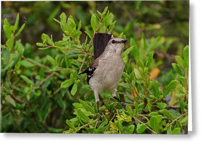 Mockingbird In Tree Greeting Card