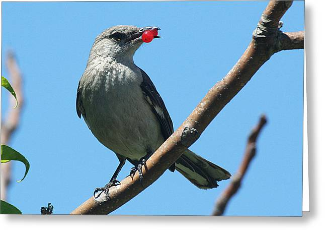Mockingbird With Berries Greeting Card