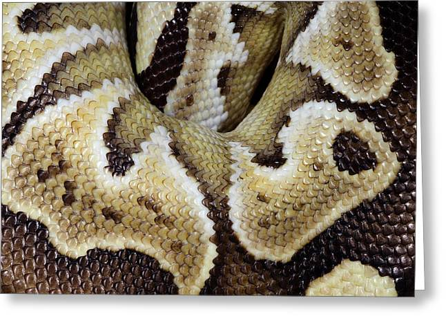Mojave Royal Python Greeting Card by Nigel Downer
