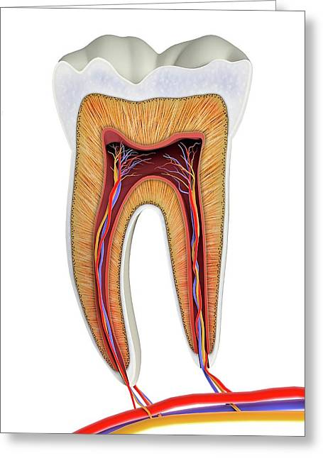 Molar Tooth Cross-section Greeting Card