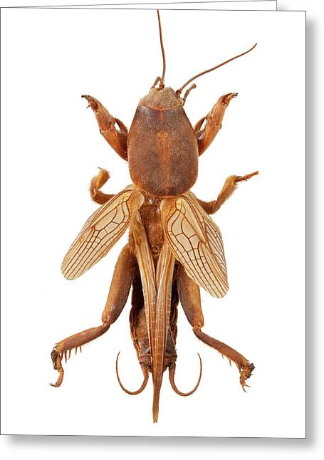 Mole Cricket Greeting Card