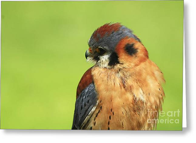 Moments Of Beauty American Kestrel Falcon  Greeting Card by Inspired Nature Photography Fine Art Photography