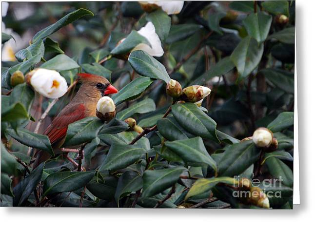Momma Cardinal Greeting Card by Skip Willits