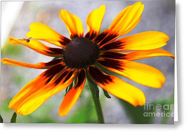 Mom's Black Eyed Susan Greeting Card by Judy Palkimas