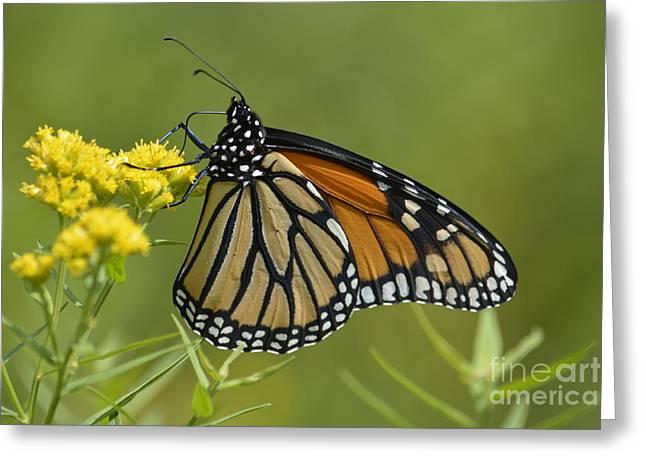 Monarch 2014 Greeting Card by Randy Bodkins