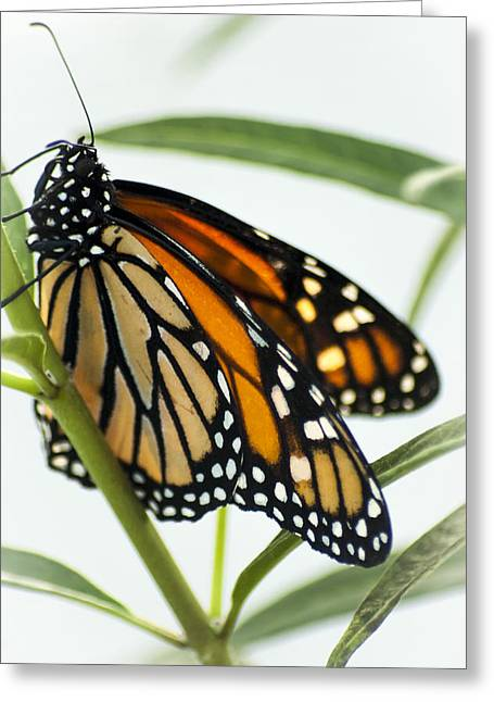 Monarch Beauty Greeting Card by Carolyn Marshall