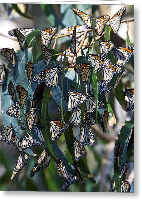 Monarch Butterflies Natural Bridges Greeting Card