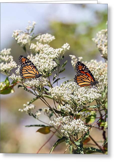 Monarch Butterflies On Milkweed Greeting Card