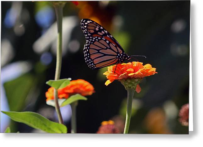 Monarch Butterfly And Orange Zinnias Greeting Card