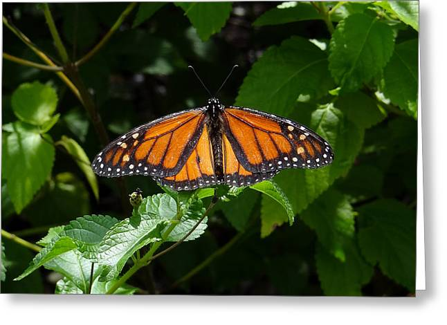 Monarch Butterfly Greeting Card by David Nichols