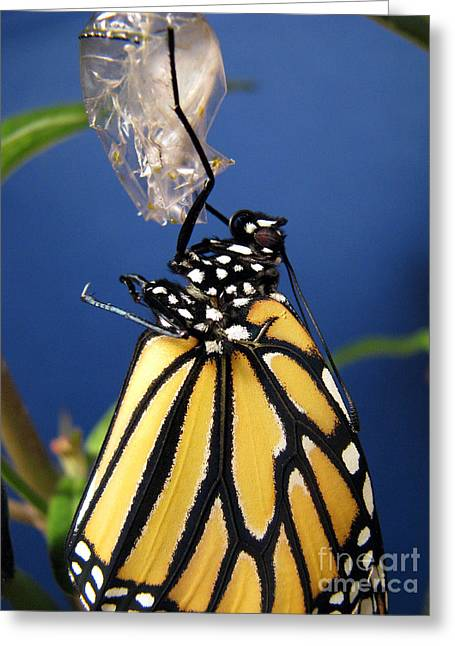 Monarch Butterfly Emerging From Chrysalis Greeting Card by Inspired Nature Photography Fine Art Photography