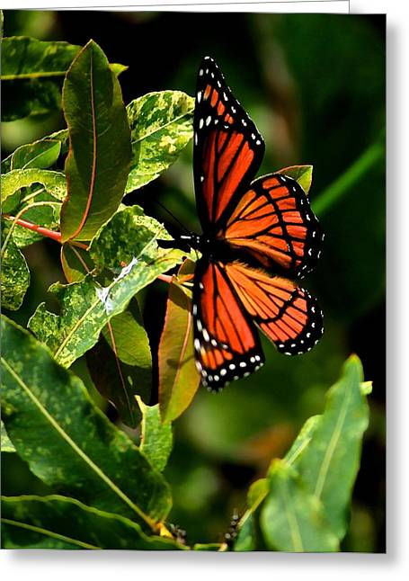 Viceroy Butterfly II Greeting Card