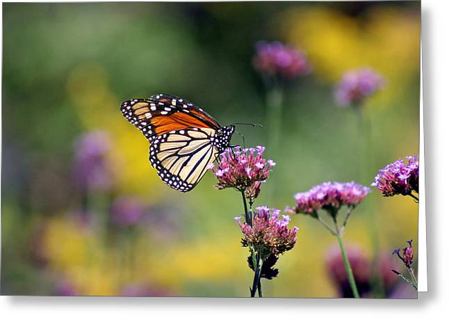 Monarch Butterfly In Field On Verbena Greeting Card by Karen Adams