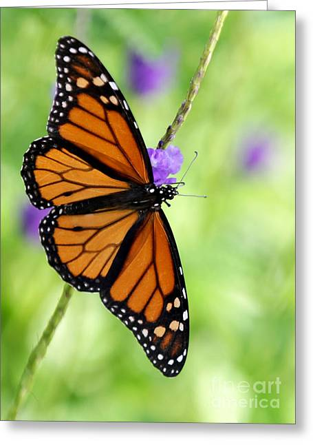 Monarch Butterfly In Spring Greeting Card