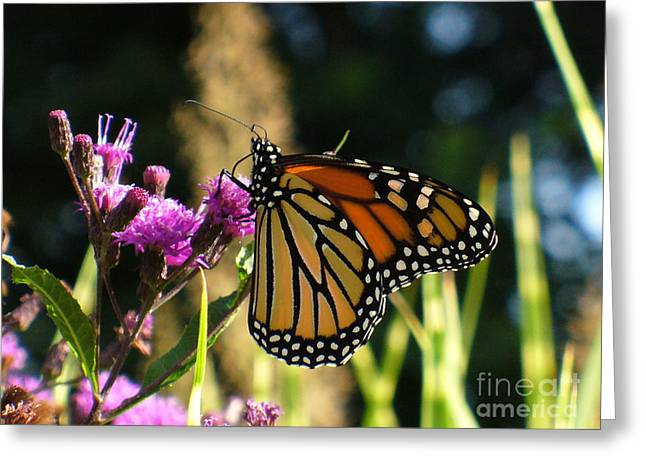 Greeting Card featuring the photograph Monarch Butterfly by Lingfai Leung