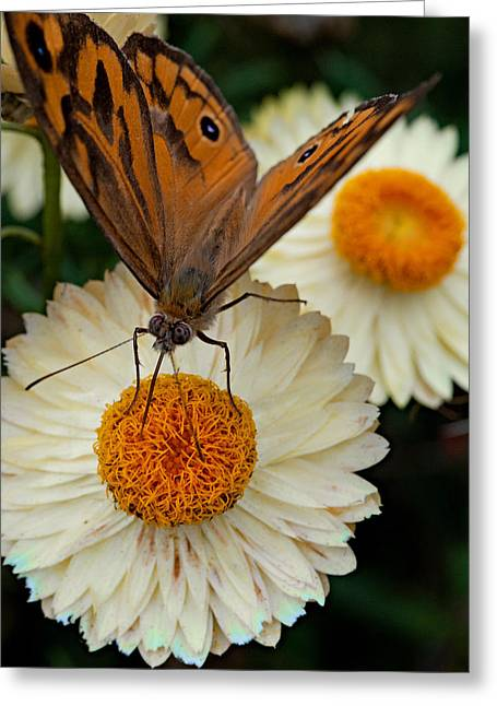 Monarch Butterfly On Paper Daisy Greeting Card by Patrick OConnell