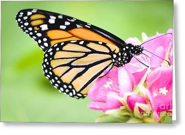 Monarch Butterfly On Pink Flower Greeting Card by Oscar Gutierrez