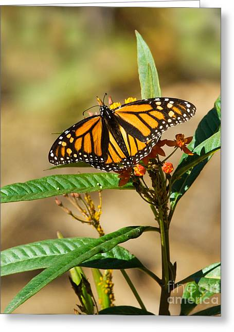 Monarch Butterfly On Plant With Eggs Greeting Card by Anthony Mercieca