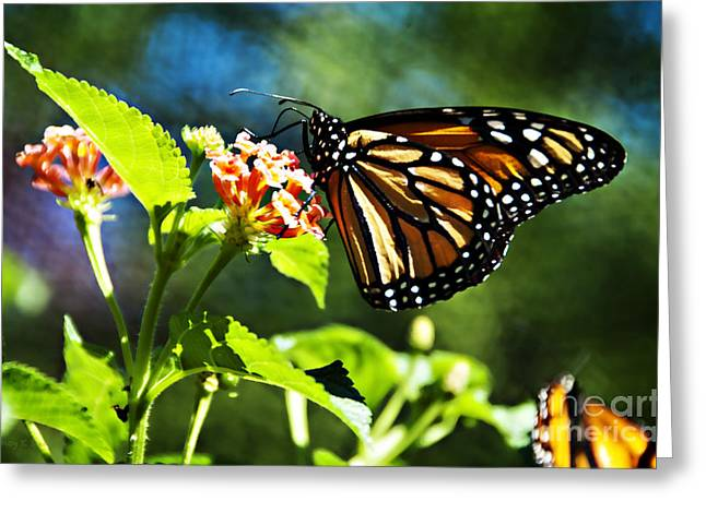 Monarch Butterfly Resting On A Flower Greeting Card by Nancy E Stein