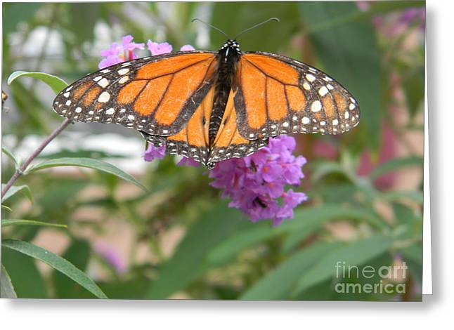 Monarch Butterfly Suckling A Flower Greeting Card