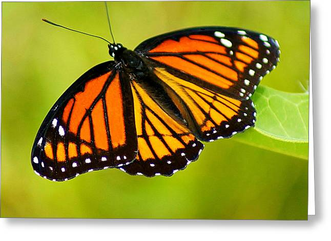 Monarch Greeting Card by Carol Toepke