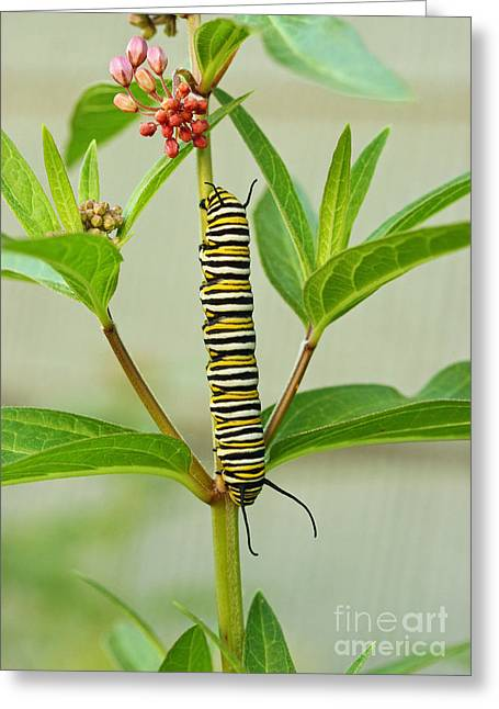 Greeting Card featuring the photograph Monarch Caterpillar And Milkweed by Steve Augustin