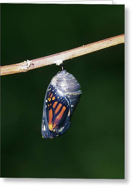 Monarch (danaus Plexippus Greeting Card