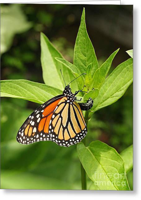 Greeting Card featuring the photograph Monarch Egg Time by Steve Augustin