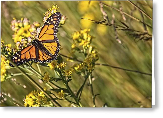 Monarch Hatch Greeting Card